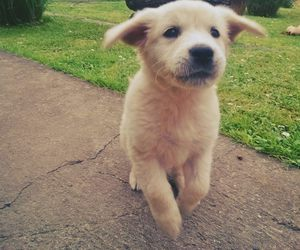 funny, golden retriver, and puppy image