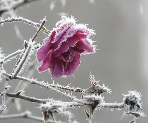 snow and rose image