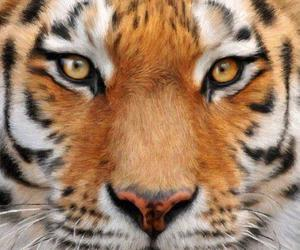 tiger and wild image