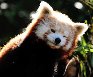 Red panda, cute, and animal image