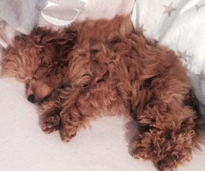 toy poodle puppy image