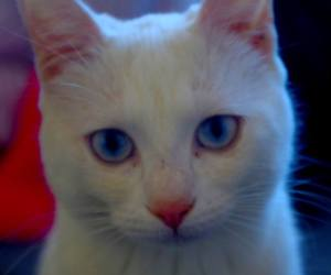 beauty, blueeyes, and cats image