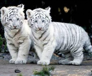 animal, tiger, and white image