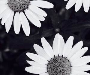 b&w, black and white, and daisies image