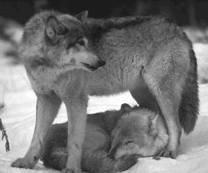 animal and wolf image