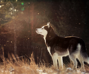 dog and wolf image