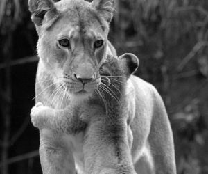 baby, lion, and black and white image