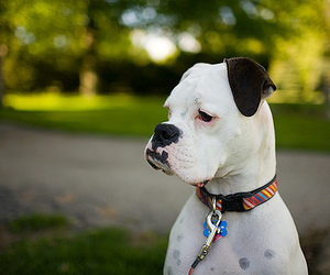 boxer, friend, and dog image