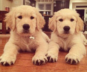 adorable, golden retriever, and puppy image
