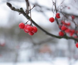 berries, red, and nature image