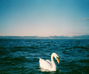 Swan, sea, and water image