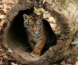tiger and animals image