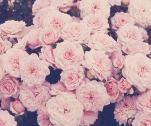 light pink, roses, and flowers pink image