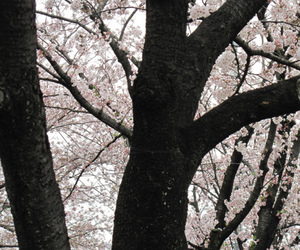 blossom, branches, and tree image