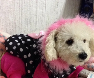 dog, pink, and frenchpoodle image