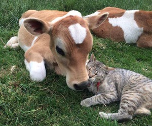 animal, cat, and cow image