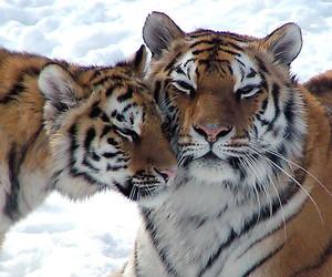 animals, cub, and tiger image