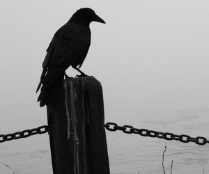 black and white, bird, and raven image