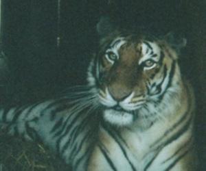 animal, tiger, and photography image