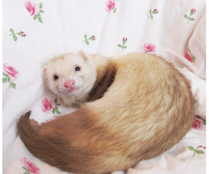 animal, eyes, and ferret image