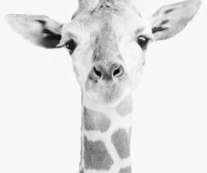 giraffe, iphone wallpaper, and photography image