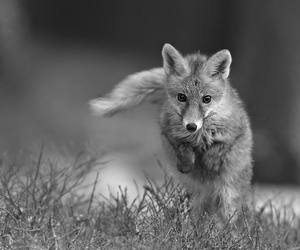 black and white, Darkness, and foxes image