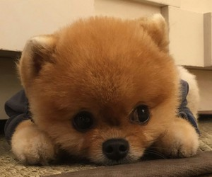 fashionable boy and jiffpom pomeranian dog image