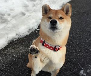 dog, female, and japanese image