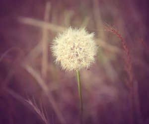 dandelion, photography, and vintage image