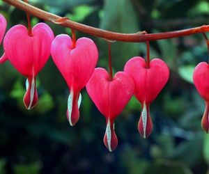 flower, pink, and corazon sangrante image