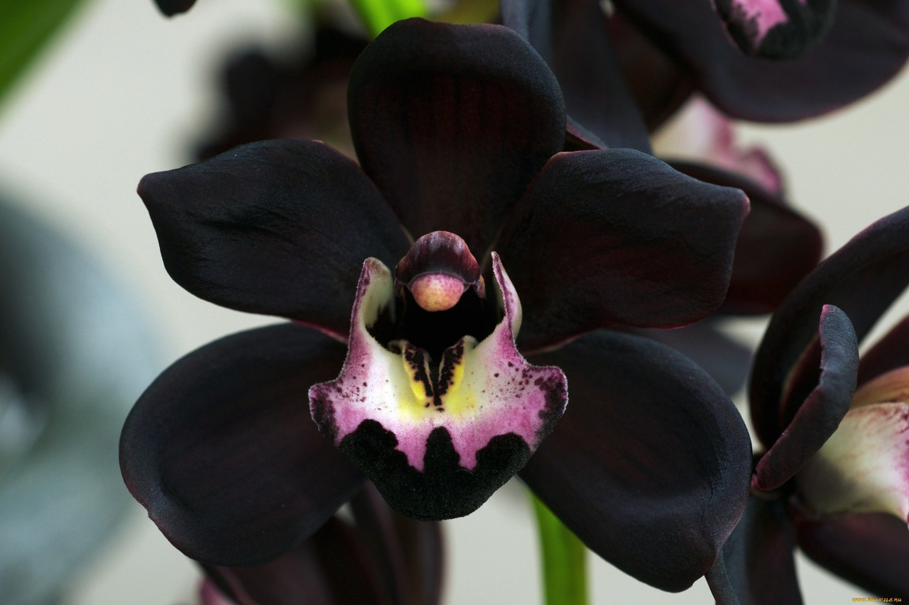 flowers, black, and orchid image