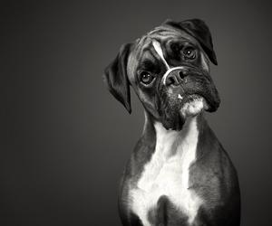 boxer image