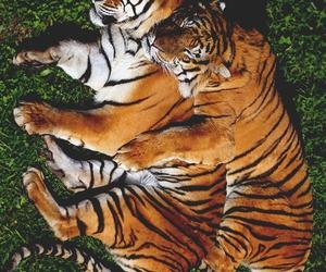 FRNCSC — Tigers Sleeping | More | via Tumblr