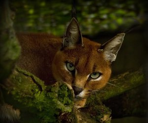 animal, carnivore, and caracal image