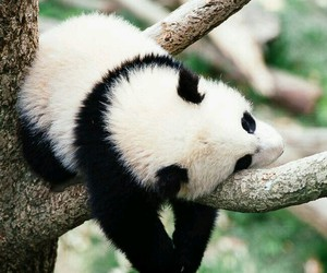 panda, animal, and bear image