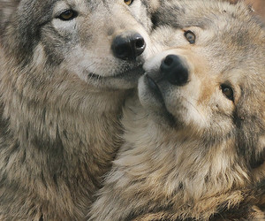 couple, wolf, and wolves image