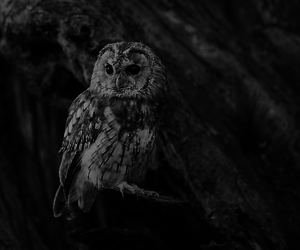 animal, black and white, and owl image