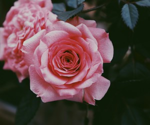 rose, nature, and pink image