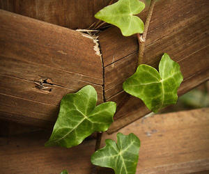ivy, nature, and wood image