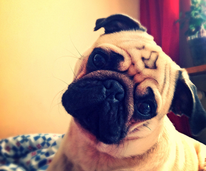 mops and pug image