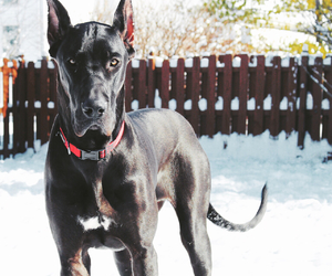 dogs and great dane image