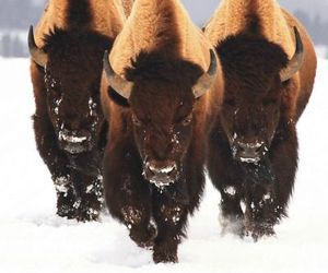 animal, beautifull, and bison image