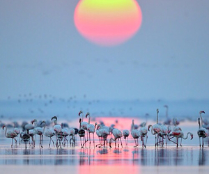 flamingo and sunset image