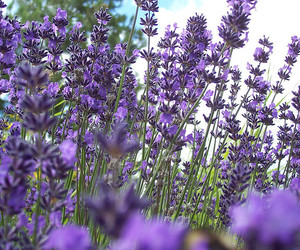 flower, lavender, and flowers image
