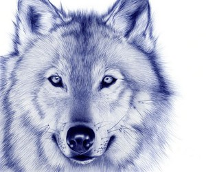 wolf, blue, and animal image