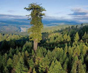 tallest tree and the redwood trees image