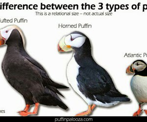 @atlantic puffins 3 sizes and @ google image