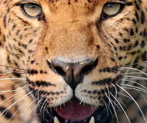 animal planet, leopard, and photography image