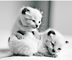 cat, cats, and kitten image