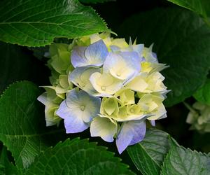 blue, flowers, and hydrangeas image